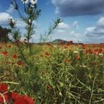 Makové pole a trosky